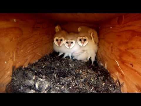 Utah Barn Owl Nest box 2