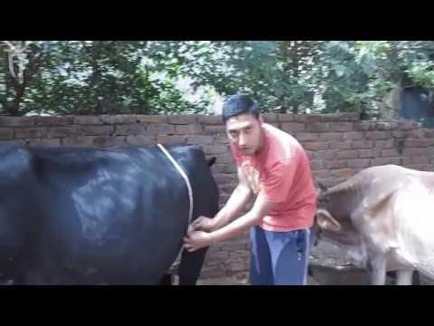 how to measure the weight of an cow,bull