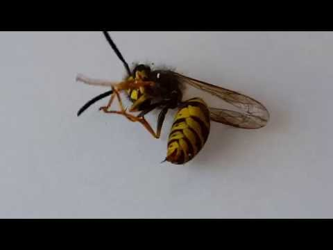 Awesome! Wasp pushes its sting in & out! (Watch till end)