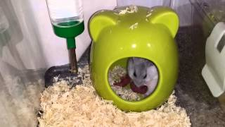 Pearl Winter White Hamster Giving Birth