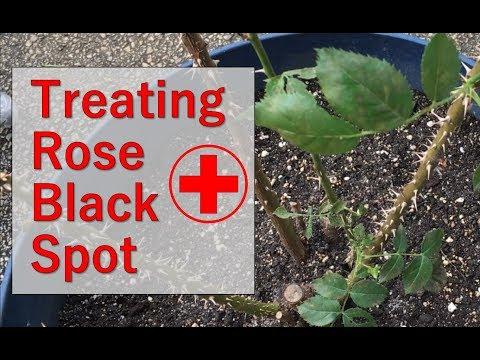 Tips for Treating Rose Bush For Black Spot Fungus
