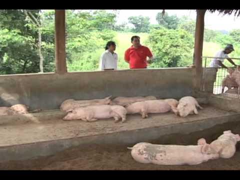 Babuyang Walang Amoy/Profitable Innovative Growing System/Natural Hog Raising in Tagaytay Part 2