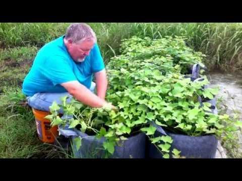 Grow Bag Sweet Potatoes