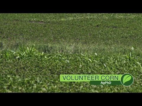 Weed of the Week #1050 Volunteer Corn (Air Date 5-20-18)