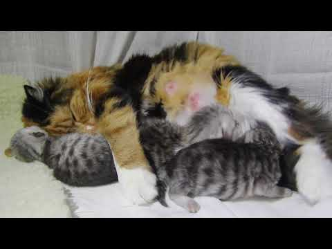4 days old kittens with calico momma