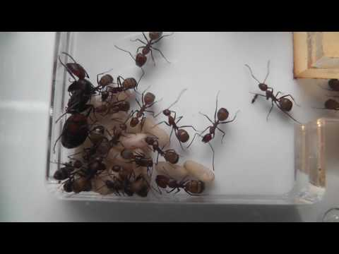 Newly Laid Ant Eggs
