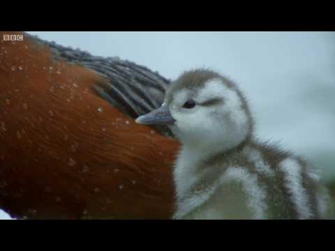 Duckling Swept Away From Parent | Wild Patagonia | BBC Earth