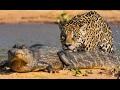Download                A jaguar attacks a caiman MP3,3GP,MP4