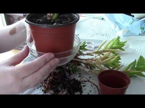 Transplanting an Aloe Vera plant