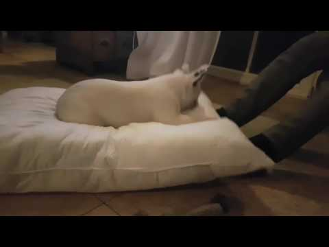 French bulldog - leave my bed alone!