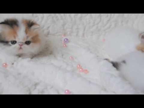 Persian girls calico - 2014 - catmadness