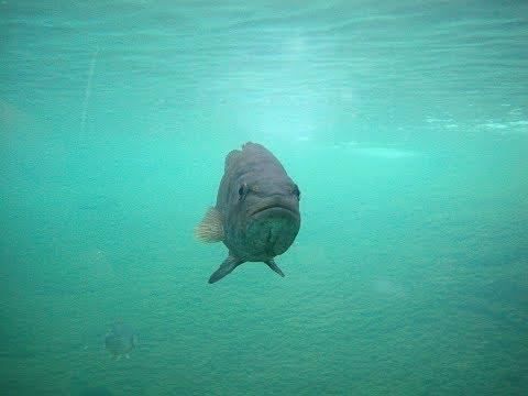 How Largemouth Bass Suck In Their Prey | ScienceTake