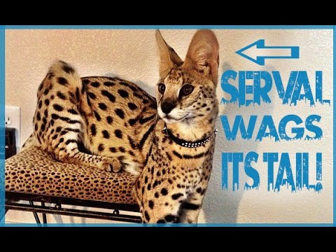 Cat Wagging Tail Like a Dog - Serval Cat