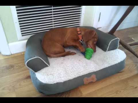 how to keep a puppy busy  Hamilton the weiner dog