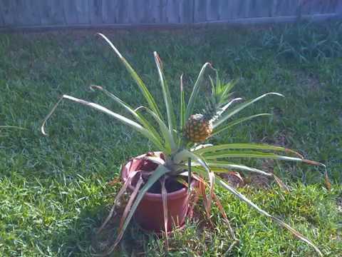 Pineapple Flowering (timelapse).wmv