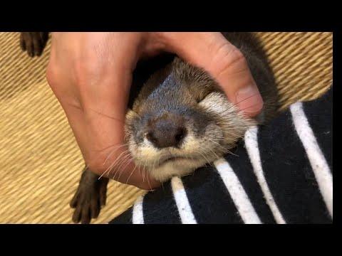 カワウソさくら 頭皮マッサージを受ける Otter scalp massage