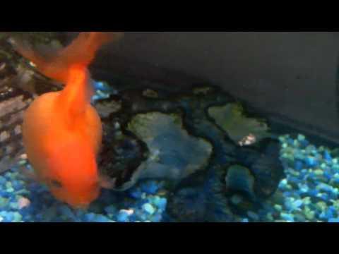 Pregnant gold fish!!!