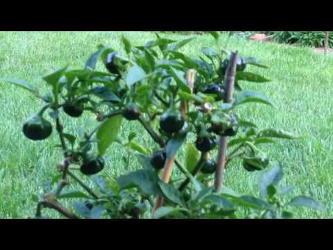 Save your pepper plants over winter and grow them again