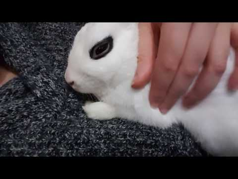 How to put your Bunny to sleep in 10 seconds  | Bunny Purring