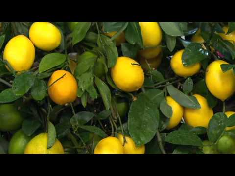 Roberta's Quick Fruiting Meyer Lemon Patio Tree on QVC
