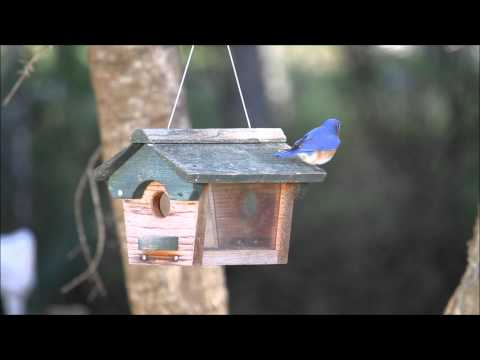 Feeder training for Eastern Bluebird