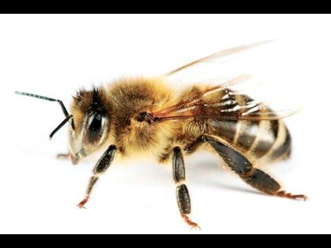 Injured Bee drinks sugar water