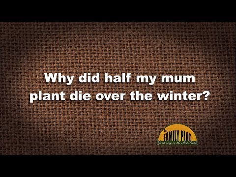 Q&A – Why did half my mum plant die over the winter?