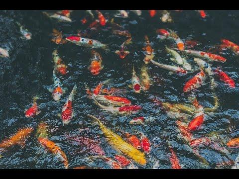 06 12 2013 inland fishery in farm pond dr c rajanna