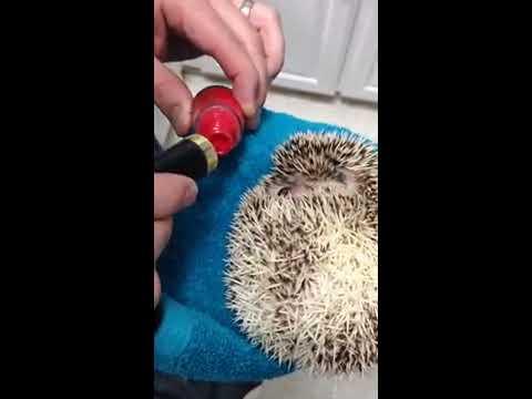 Hedgehog Smells Nail Polish