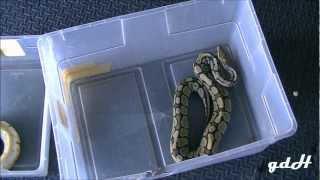Ball Python Feeding Day Warning Live Feeding