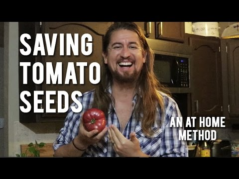 How To Save Tomato Seeds - An At Home Method