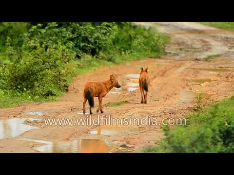 Dhole or Asiatic Wild Dog in central Indian forest - all domestic dogs came from them!