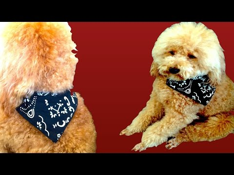 How to make DOG PIRATE SCARF- EASY BANDANA NO SEW - DIY Dog Craft by Cooking For Dogs