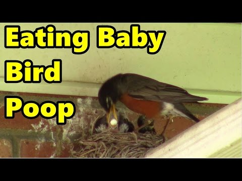 Eating Baby Bird Poop - Yummy #03