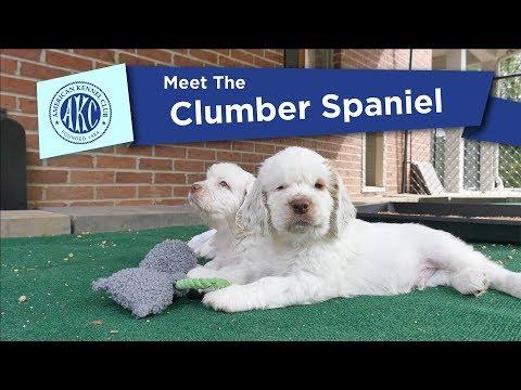 AKC's Meet the Clumber Spaniel