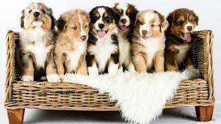 Australian Shepherd puppies growing | Time lapse