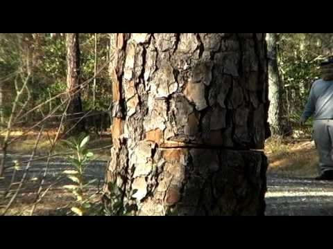 Take down big dead pine tree for firewood (using the Stihl 025 Chain Saw) Episode 1