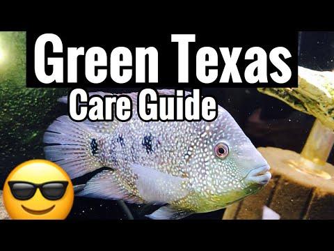 Carpintis Green Texas Cichlid Care - Size & Aggression