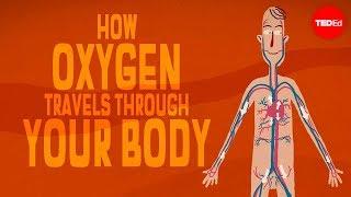 Oxygen's surprisingly complex journey through your body - Enda Butler
