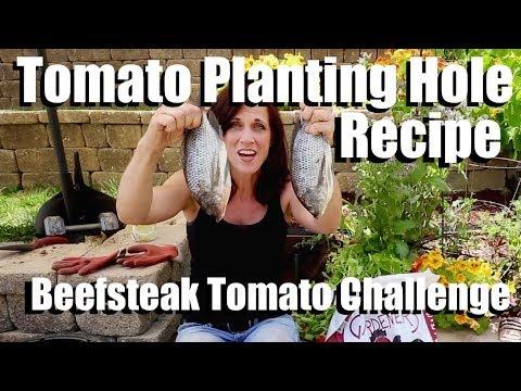 Growing Large Tomatoes: Tomato Planting Hole Recipe, Sub Irrigation // Beefsteak Tomato Challenge #2