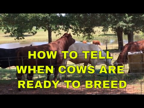 How To Tell When Cows Are Ready To Breed