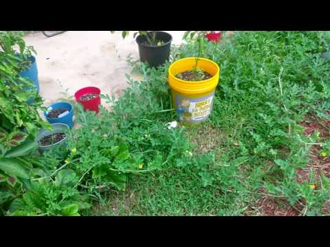 Growing Sugar Baby Watermelon In Container