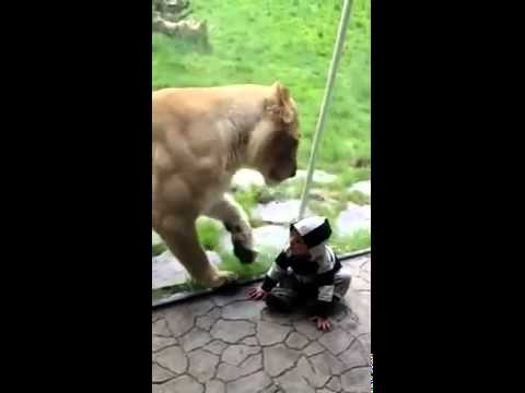 Lion tries to eat baby PART 1