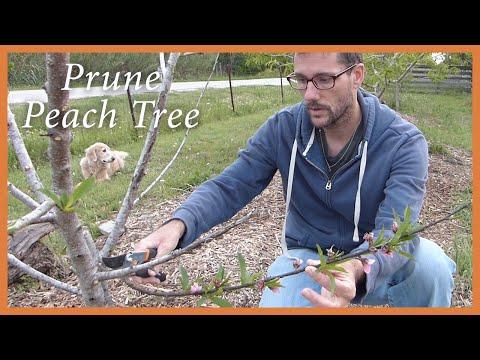 Prune the Peach Tree: Surprise Ending