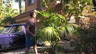 Growing Kentia Palms Outdoors in Northern California