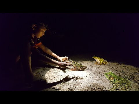 Real life catch frog at night by hand - Catch Frog by hand at night, real life 100%
