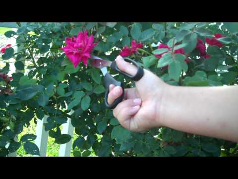 Pruning Your Knockout Roses