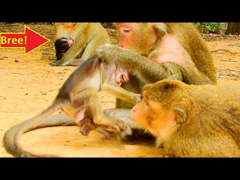 Aha! Why She Get Angry Baby, Not Newborn Baby Monkey Bree!