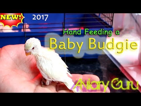 HANDFEEDING a Baby Budgie - Pet Birds - 2017