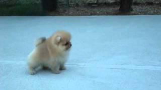 AKC Pomeranian Puppy - Benjamin at 8 weeks old